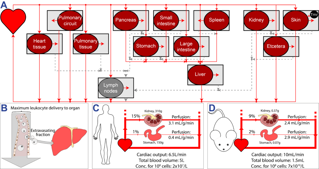 A schematic of different organs and the heart